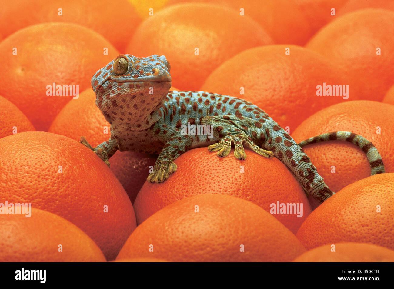 FL1179, Kitchin/Hurst; Lézard tacheté Oranges Photo Stock