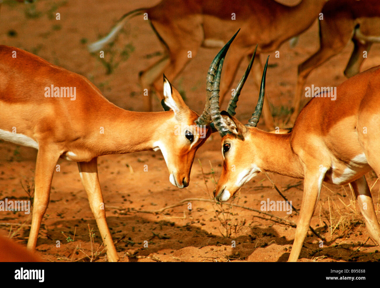La lutte contre les antilopes AU KENYA Photo Stock