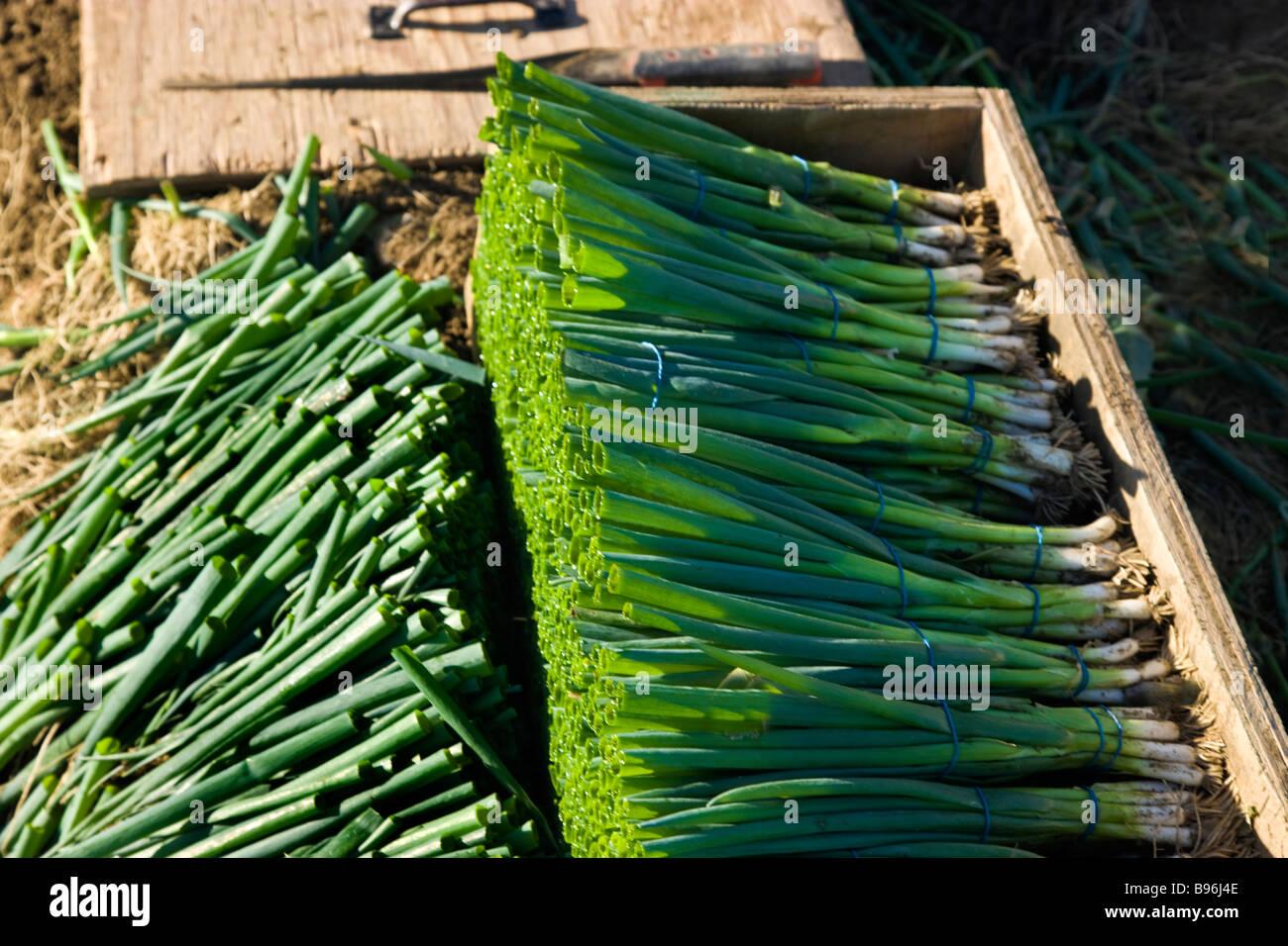 Oignons verts récoltés, sont issus de l'agriculture biologique. Photo Stock