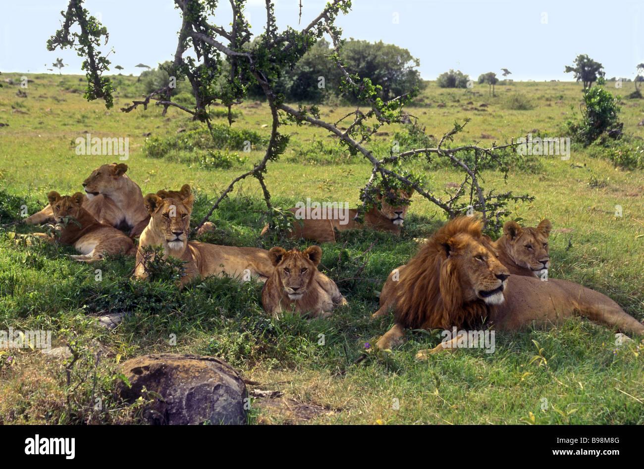 une troupe de lions un lion m le adulte femelle adulte et quatre lionnes avec trois oursons. Black Bedroom Furniture Sets. Home Design Ideas