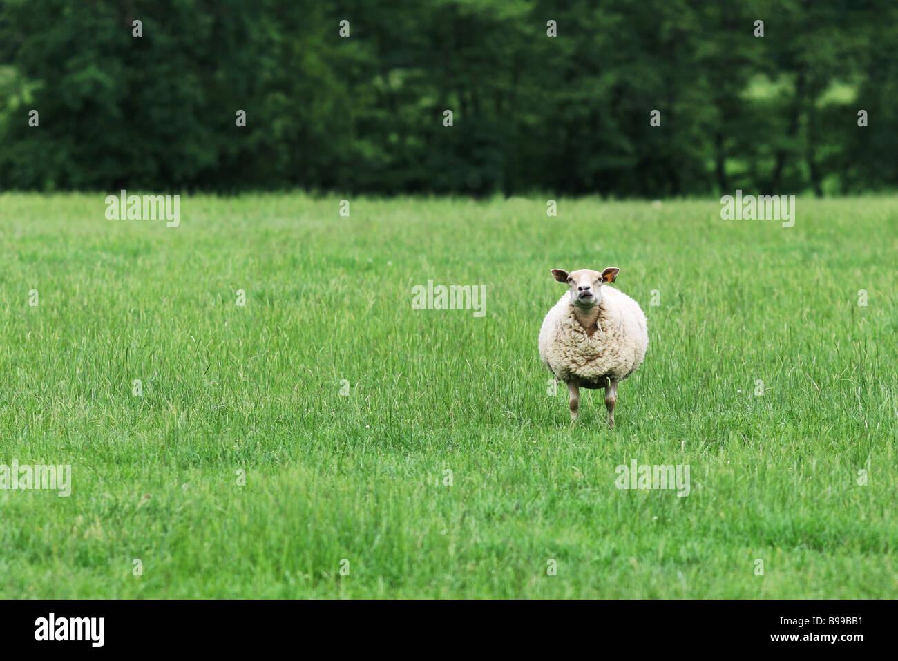 Mouton solitaire dans le champ Photo Stock