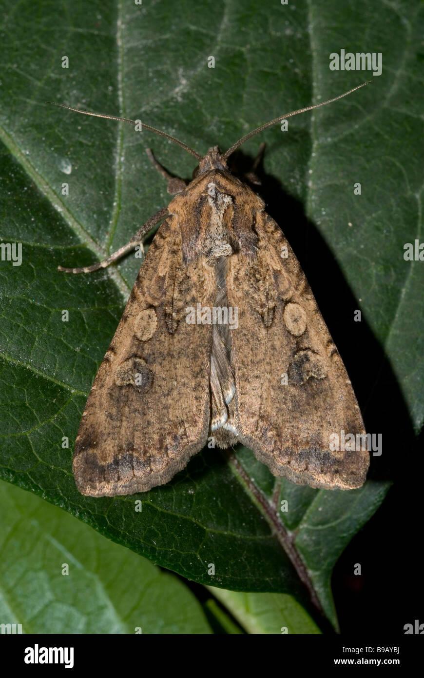 Papillon ailes nacré (Peridroma saucia) Photo Stock