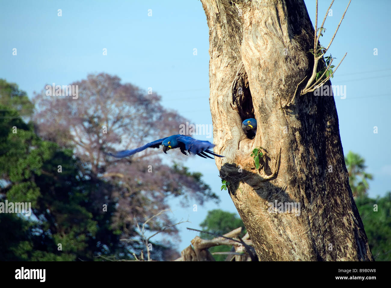 Anodorhynchus hyacinthinus Hyacinth Macaw Photo Stock