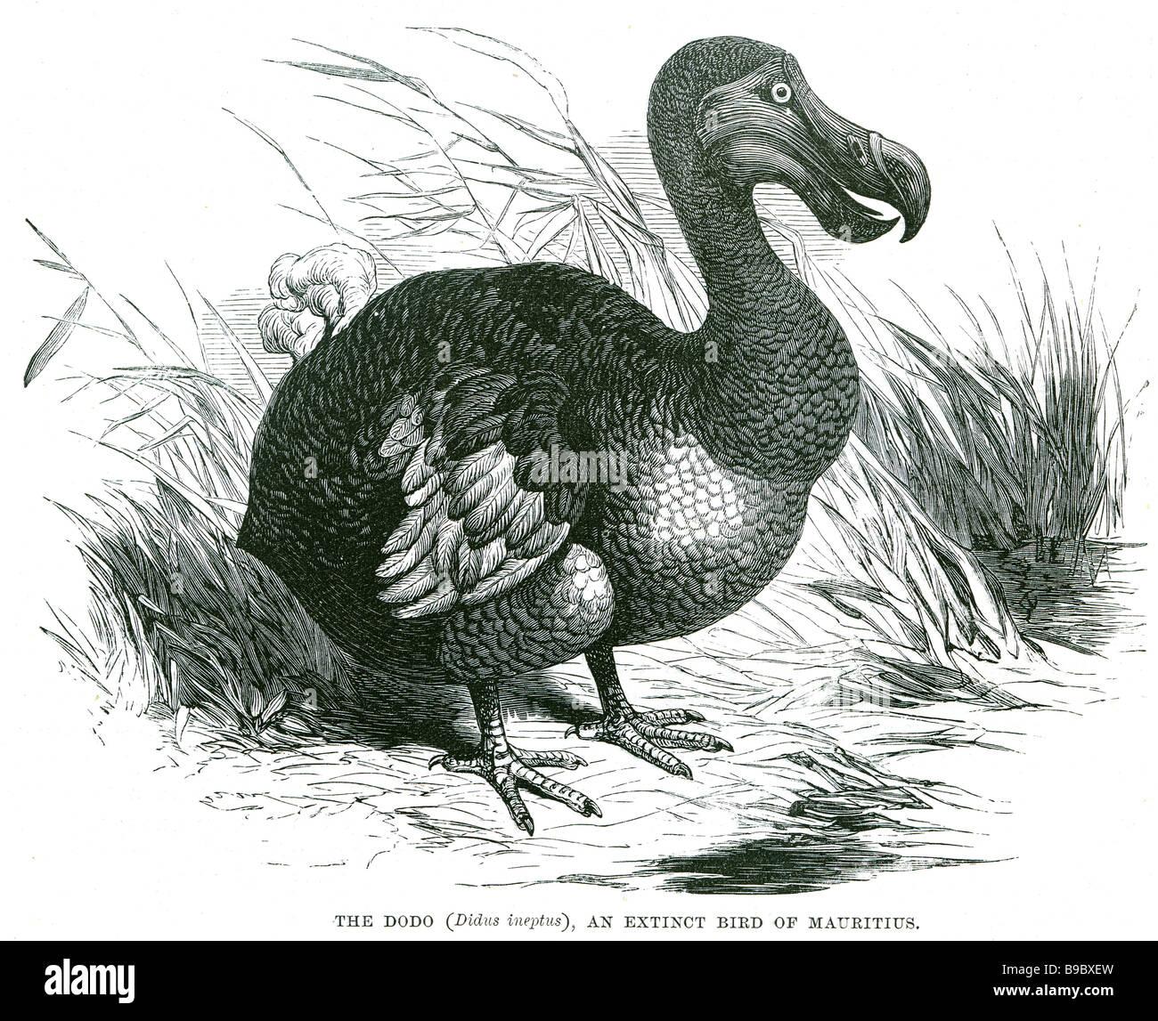 Didus ineptus le dodo une espèce d'oiseau de l'île Maurice Le dodo (Raphus cucullatus) est un oiseau endémique de l'Oce indien Banque D'Images