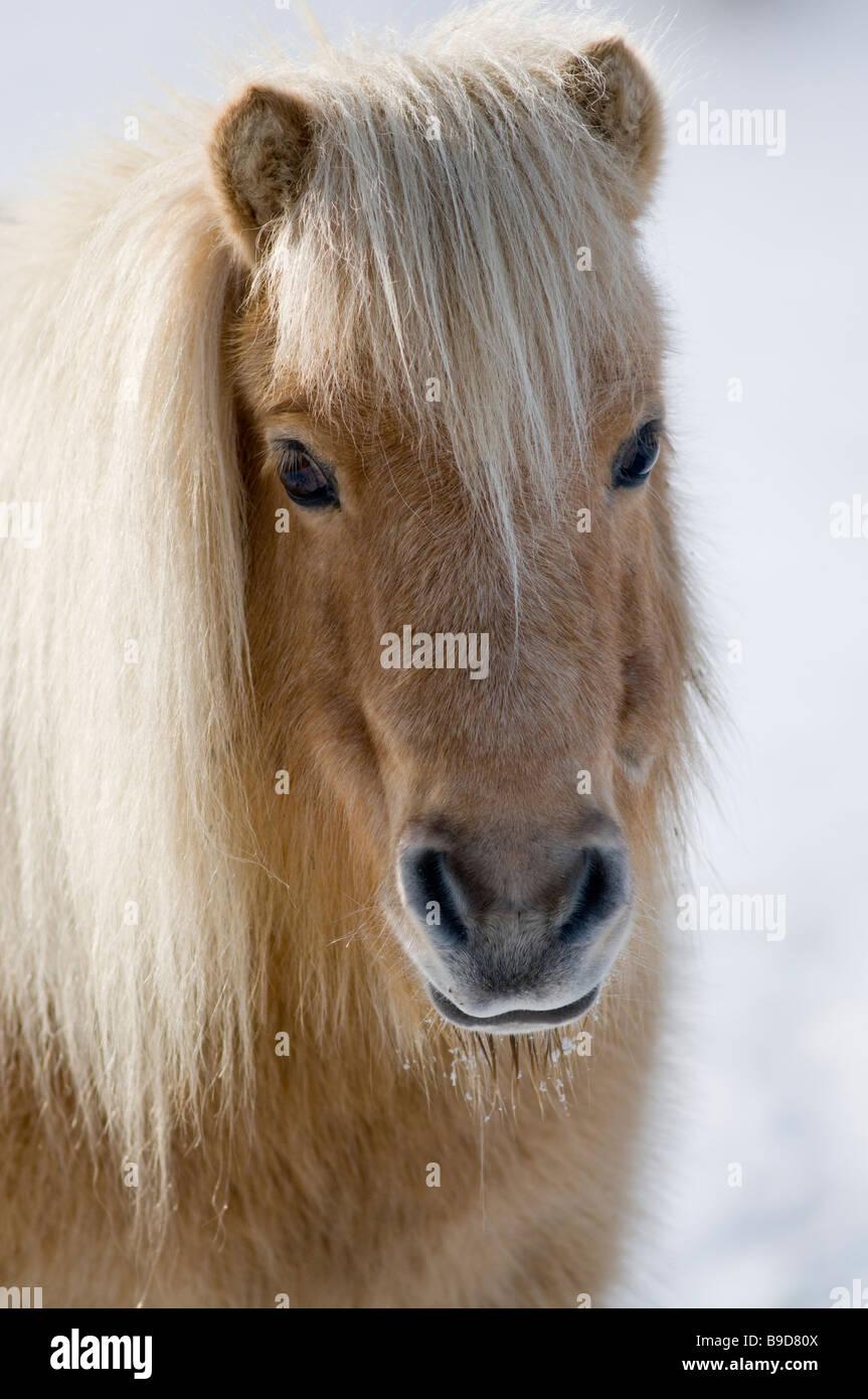 Poney Shetland miniature dans la neige UK Photo Stock