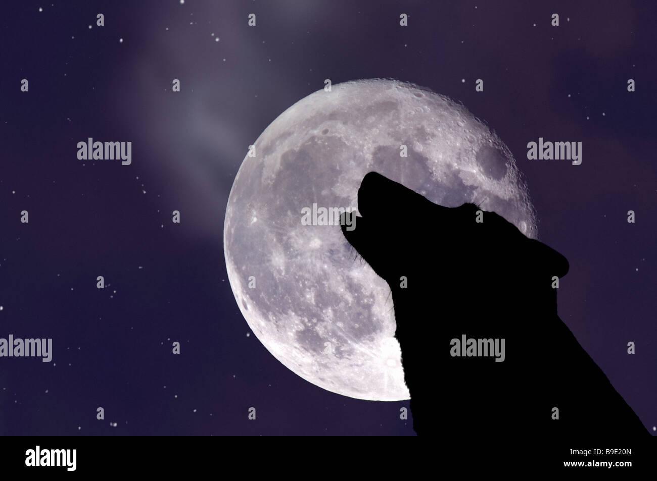 Loup hurlant à la lune Photo Stock