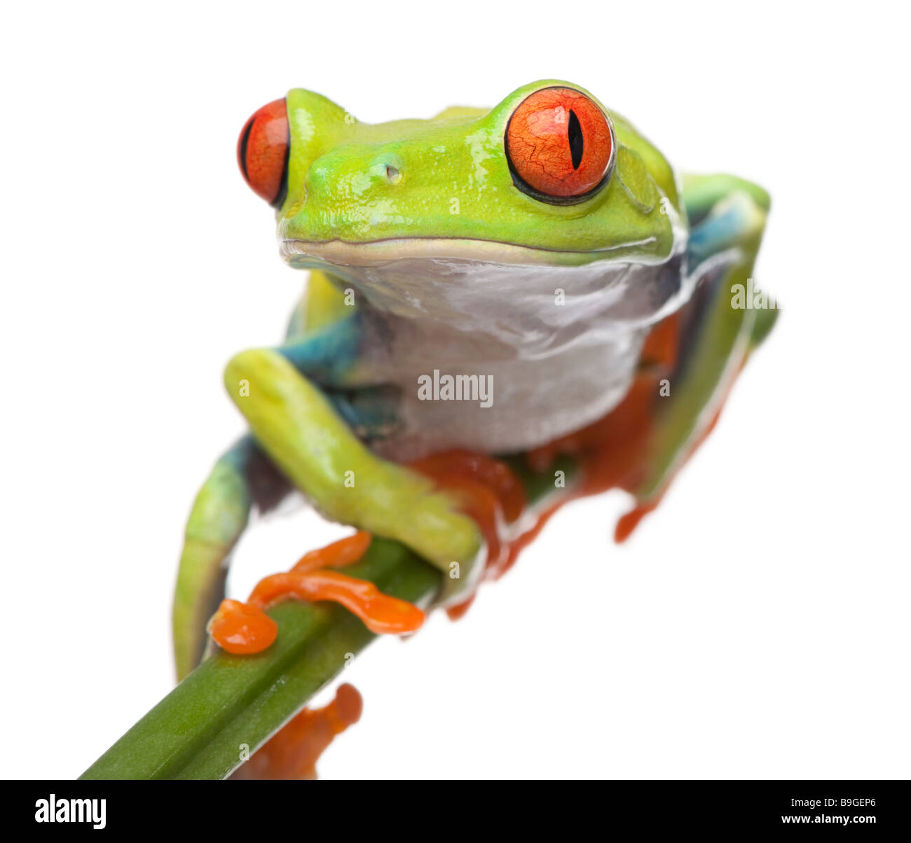 Red eyed Tree Frog agalychnis callidryas devant un fond blanc Photo Stock