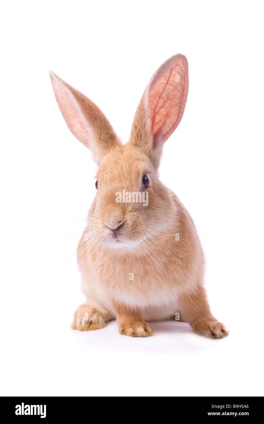 Les jeunes curieux lapin rouge isolé sur fond blanc /// lapin de pâques découper fond blanc dentelle Photo Stock