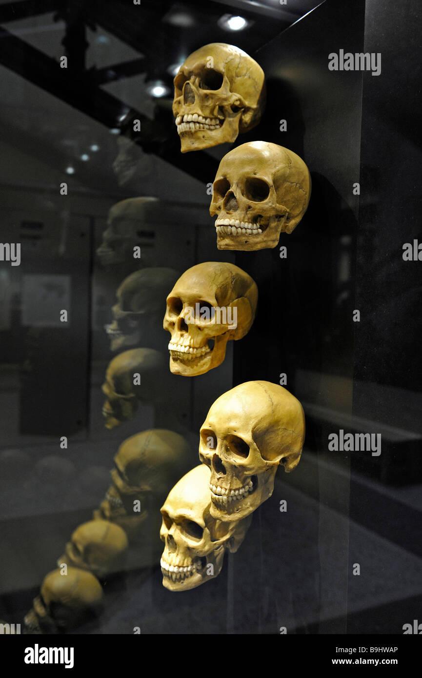 Differntly développé les crânes de l'homme de différents continents, Museum für Naturkunde, Photo Stock
