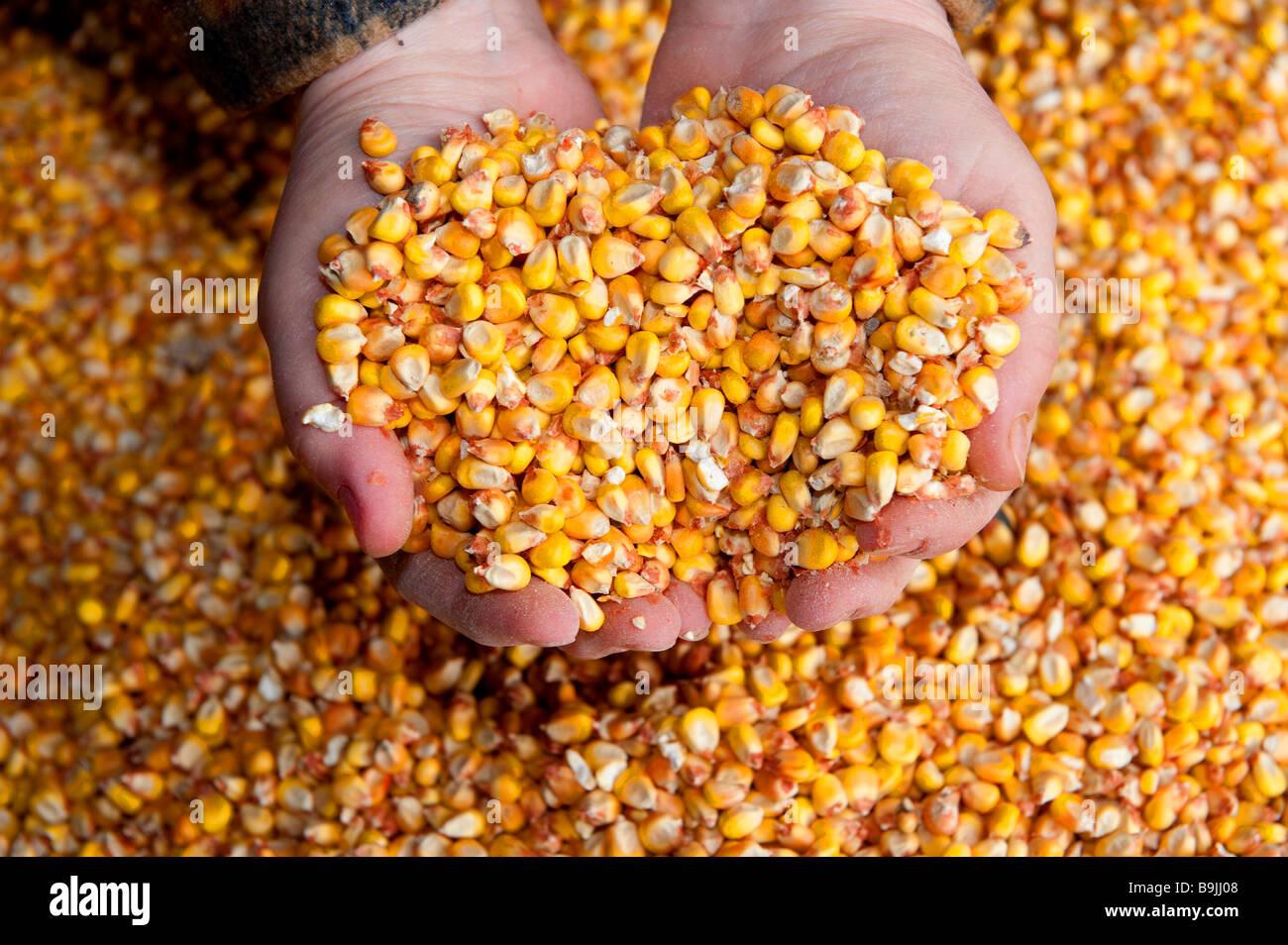 Farmer holding maïs au creux des mains Photo Stock
