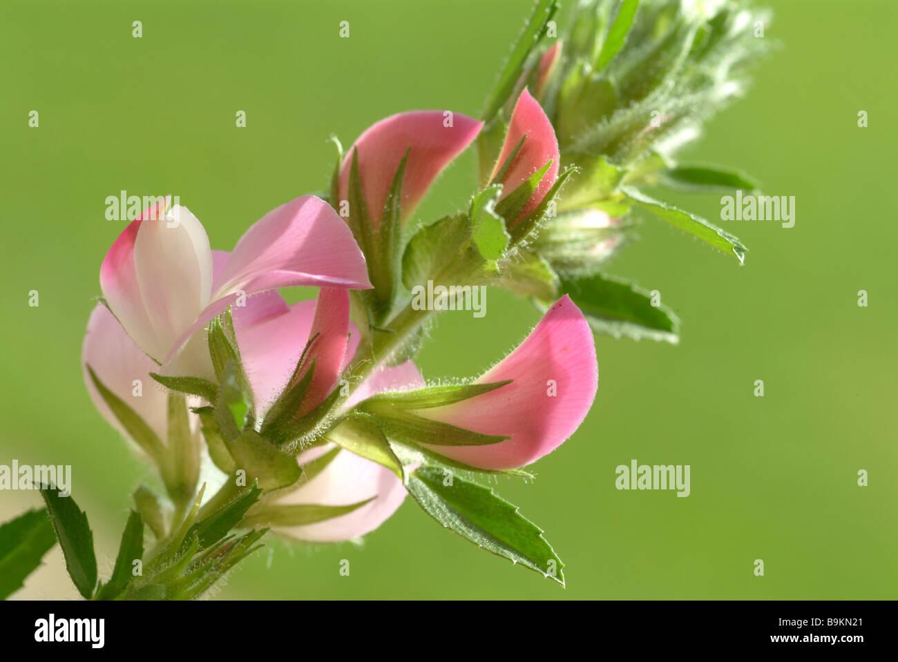 Cammock plantes médicinales sol herse Ononis spinosa furze reste Photo Stock