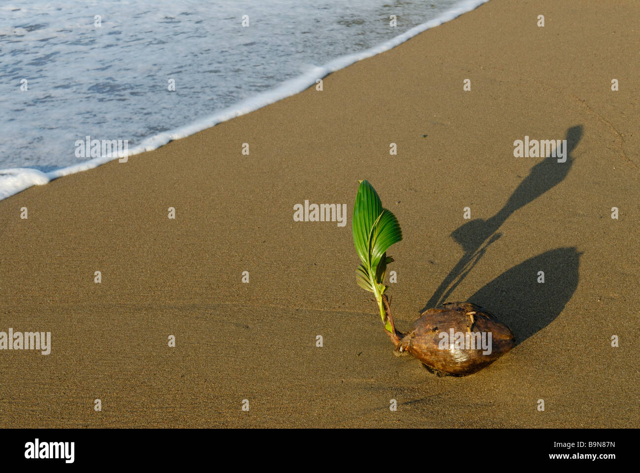 Coconut bourgeonnant sur beach, Costa Rica Photo Stock