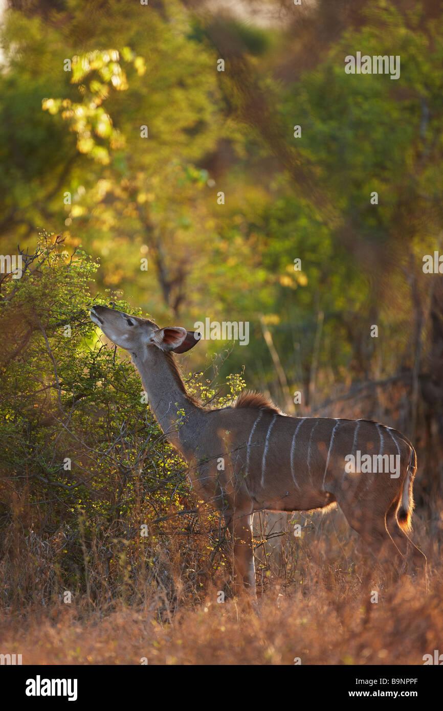 Une alimentation de brebis nyala sur la végétation, Kruger National Park, Afrique du Sud Photo Stock