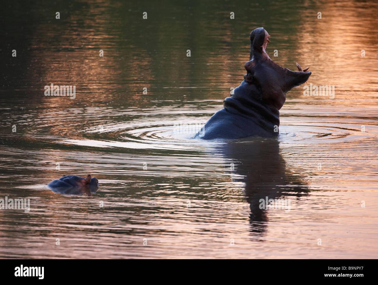Le bâillement d'hippopotames dans une rivière, Kruger National Park, Afrique du Sud Photo Stock