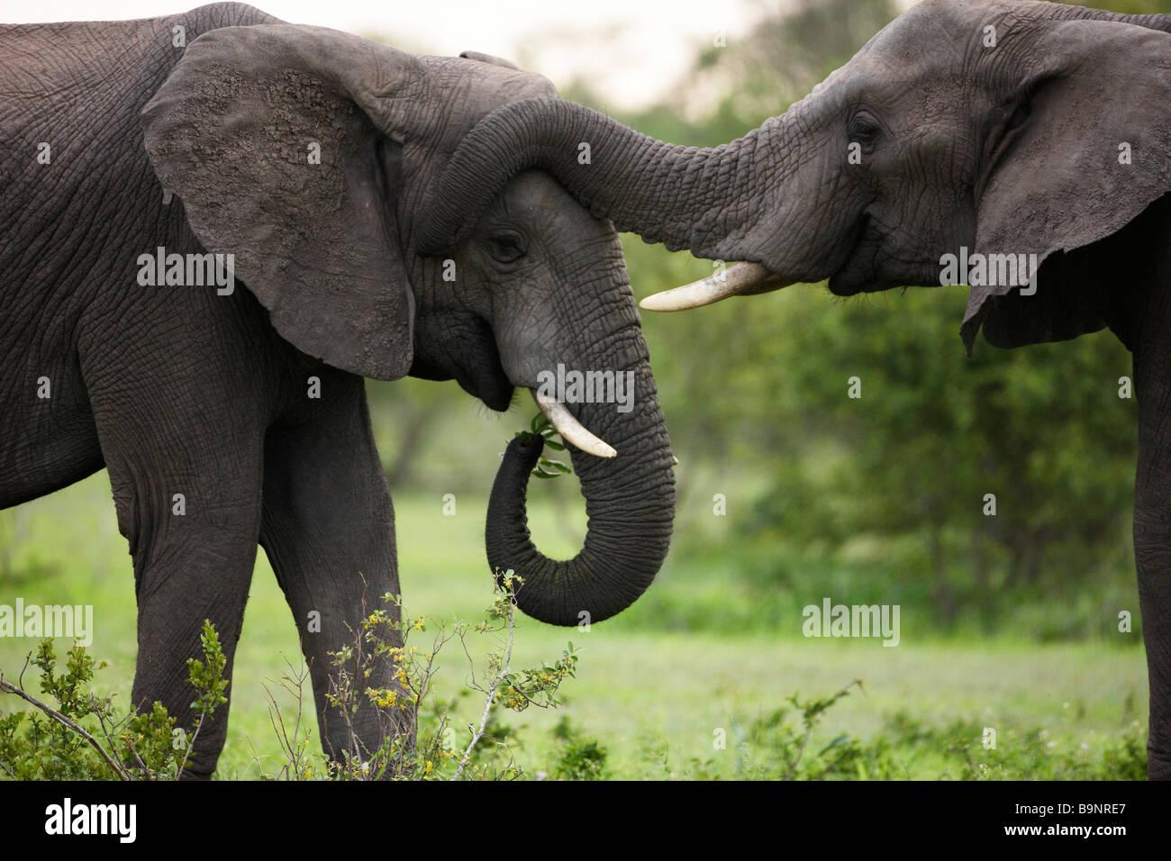 Deux éléphants africains le collage dans la brousse, Kruger National Park, Afrique du Sud Photo Stock