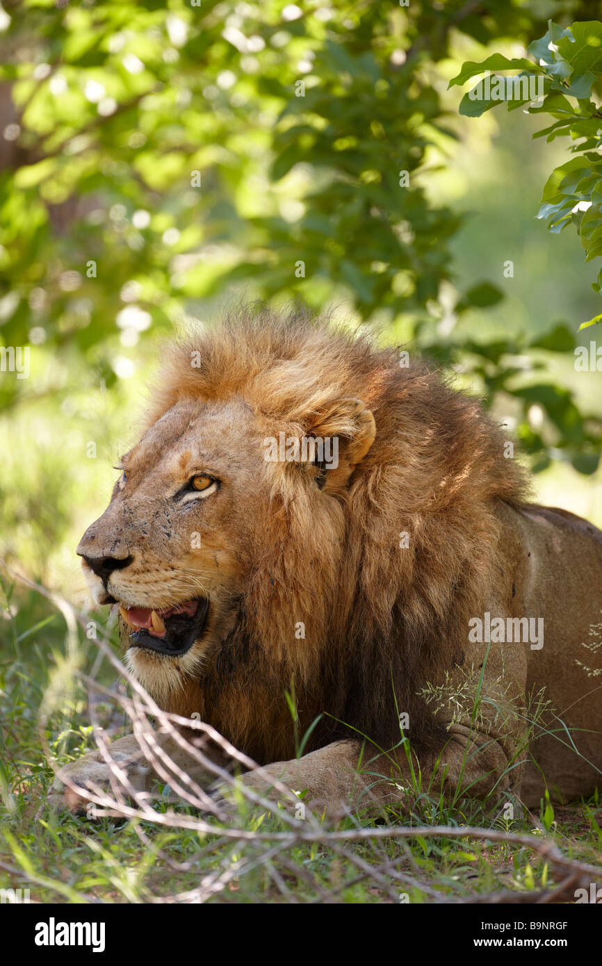 Lion reposant dans la brousse, Kruger National Park, Afrique du Sud Photo Stock