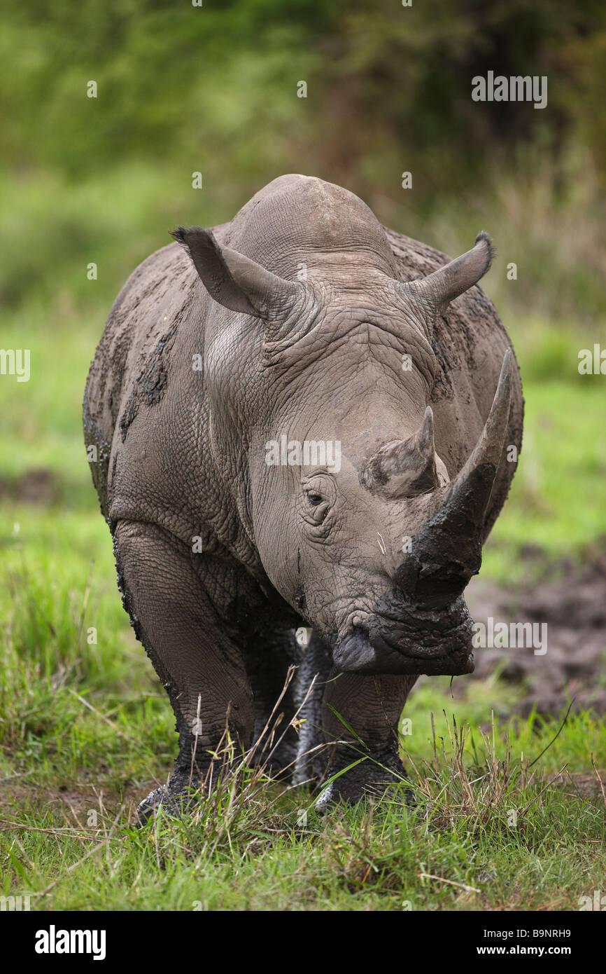 Rhinocéros blanc dans la brousse, Kruger National Park, Afrique du Sud Photo Stock