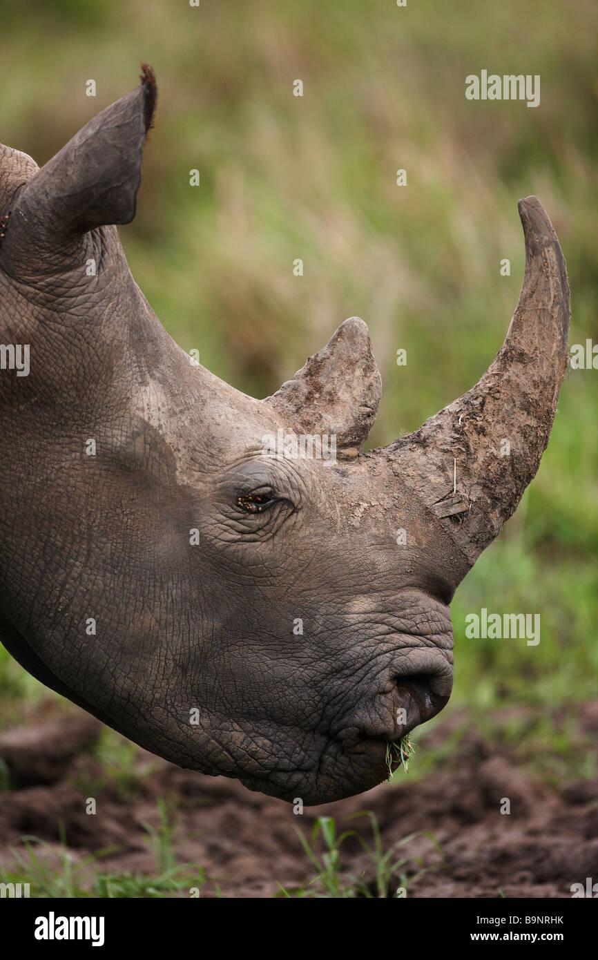 Portrait de rhinocéros blanc paissant dans la brousse, Kruger National Park, Afrique du Sud Photo Stock