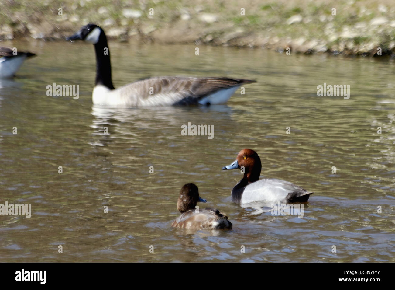 recherche canada goose