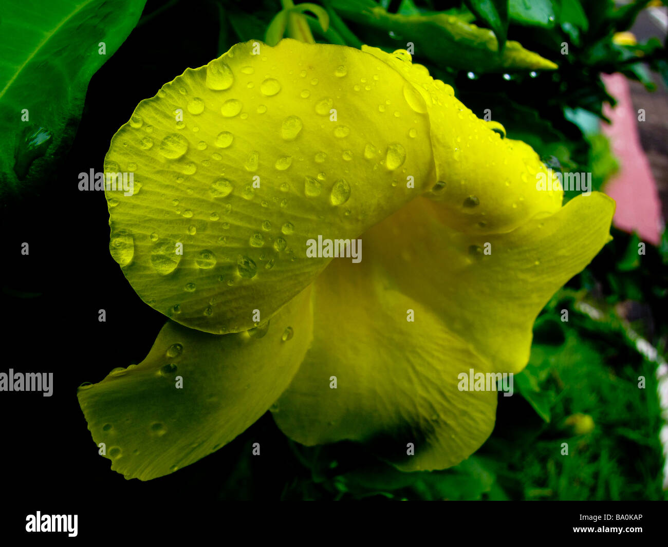 Gouttelettes sur pétale de fleur. Photo Stock