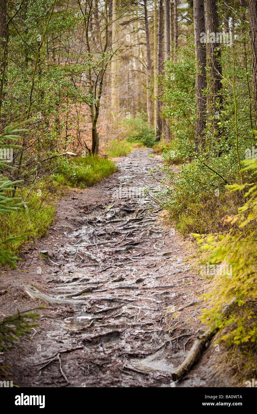 La forêt de conifères, chemin Trail sentier à travers la forêt, UK Photo Stock