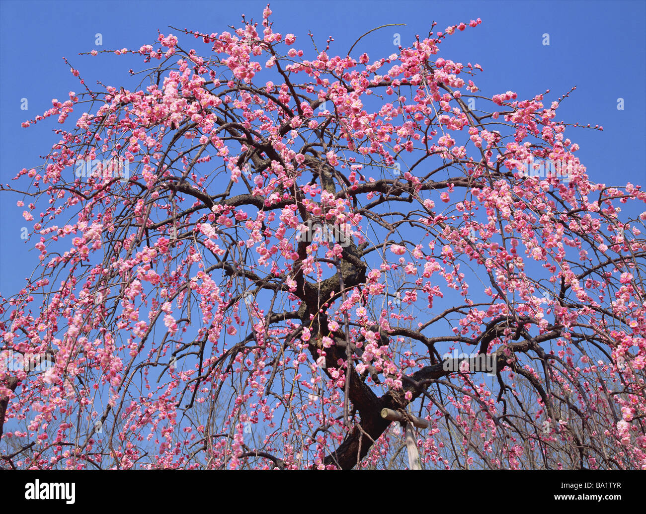 Cherry Plum Trees Blooming in Springtime Banque D'Images