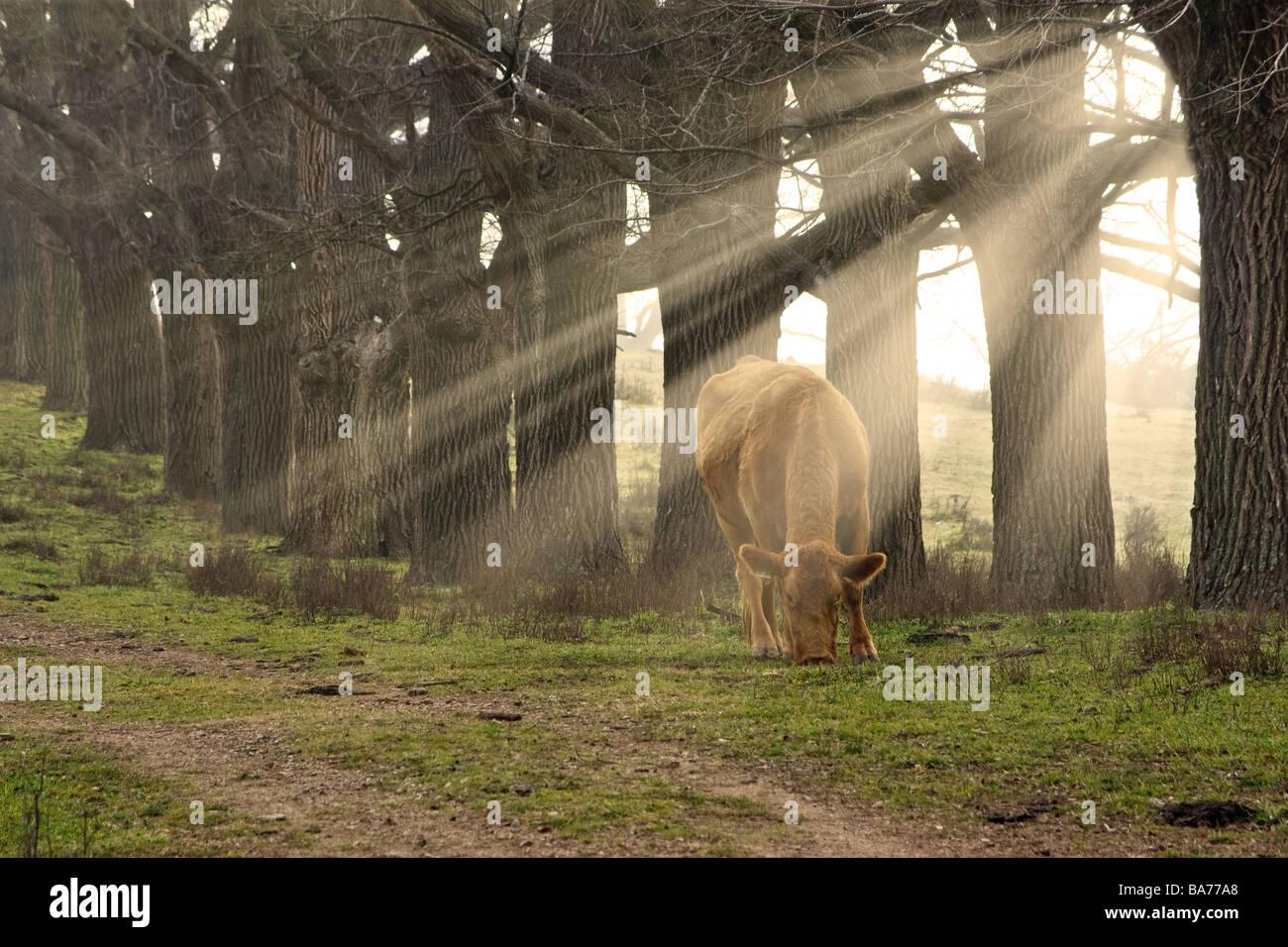 Une vache mange de l'herbe le matin avec les rayons du soleil à travers les arbres Photo Stock