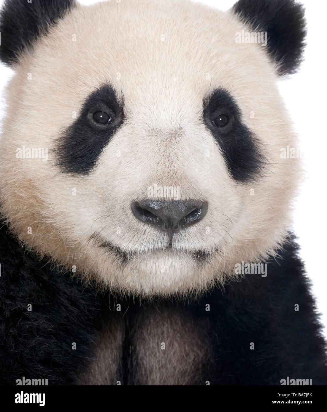 Panda géant (18 mois) - Ailuropoda melanoleuca devant un fond blanc Photo Stock