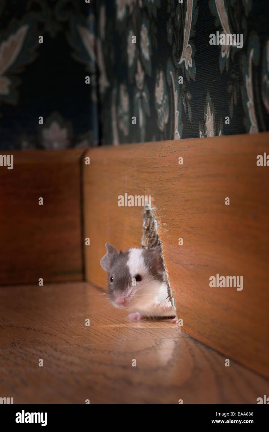 La souris sort de son trou dans une chambre à l'ancienne de luxe Photo Stock