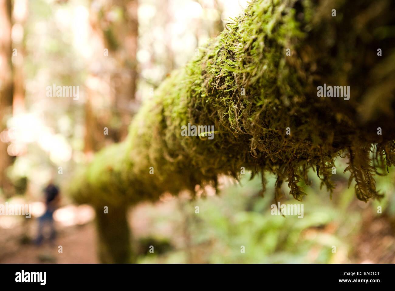 Sequoia Forest en Californie Photo Stock