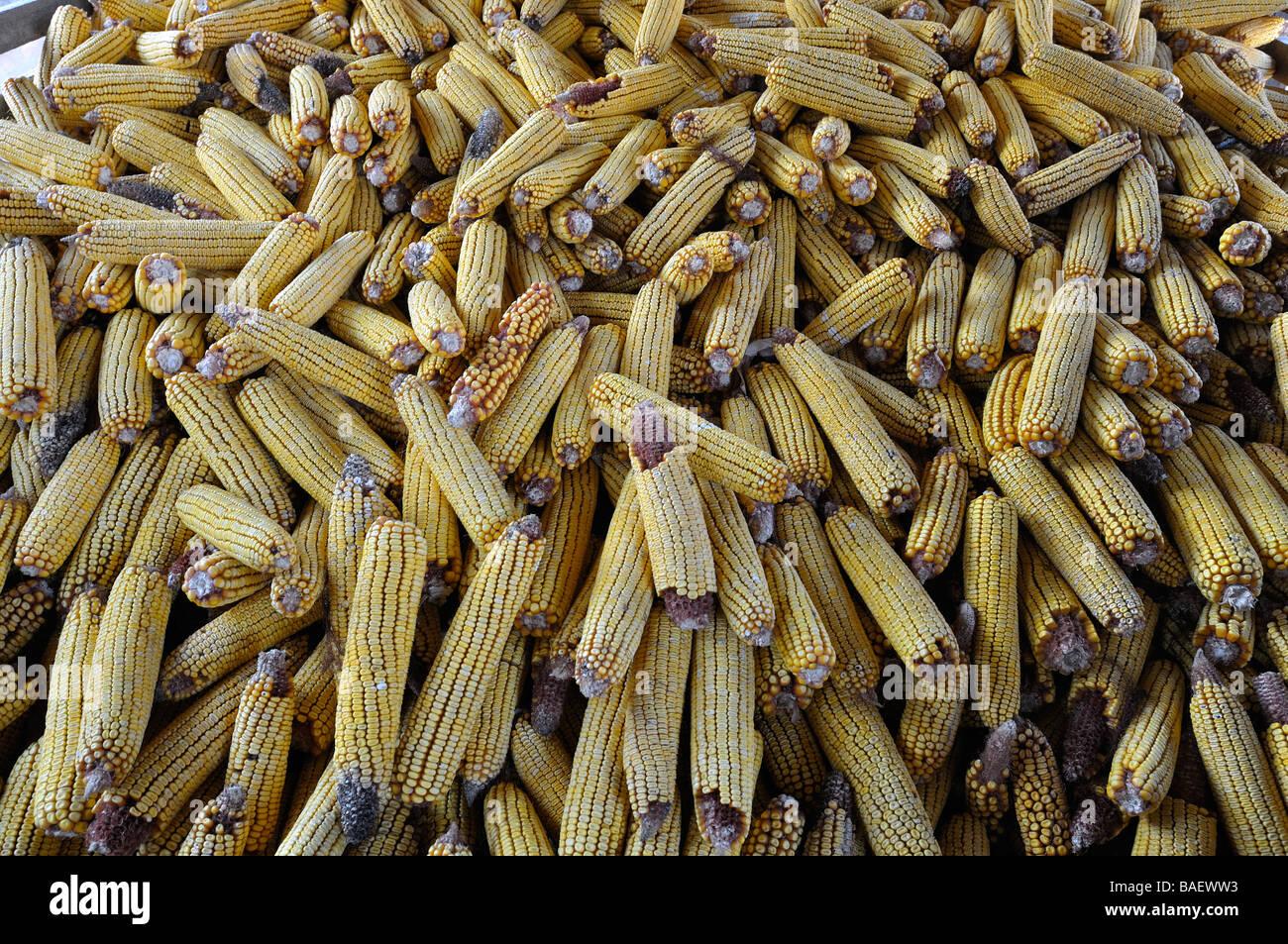 Le stockage du maïs dans le village de Vojka dans la Voïvodine en Serbie. Photo Stock