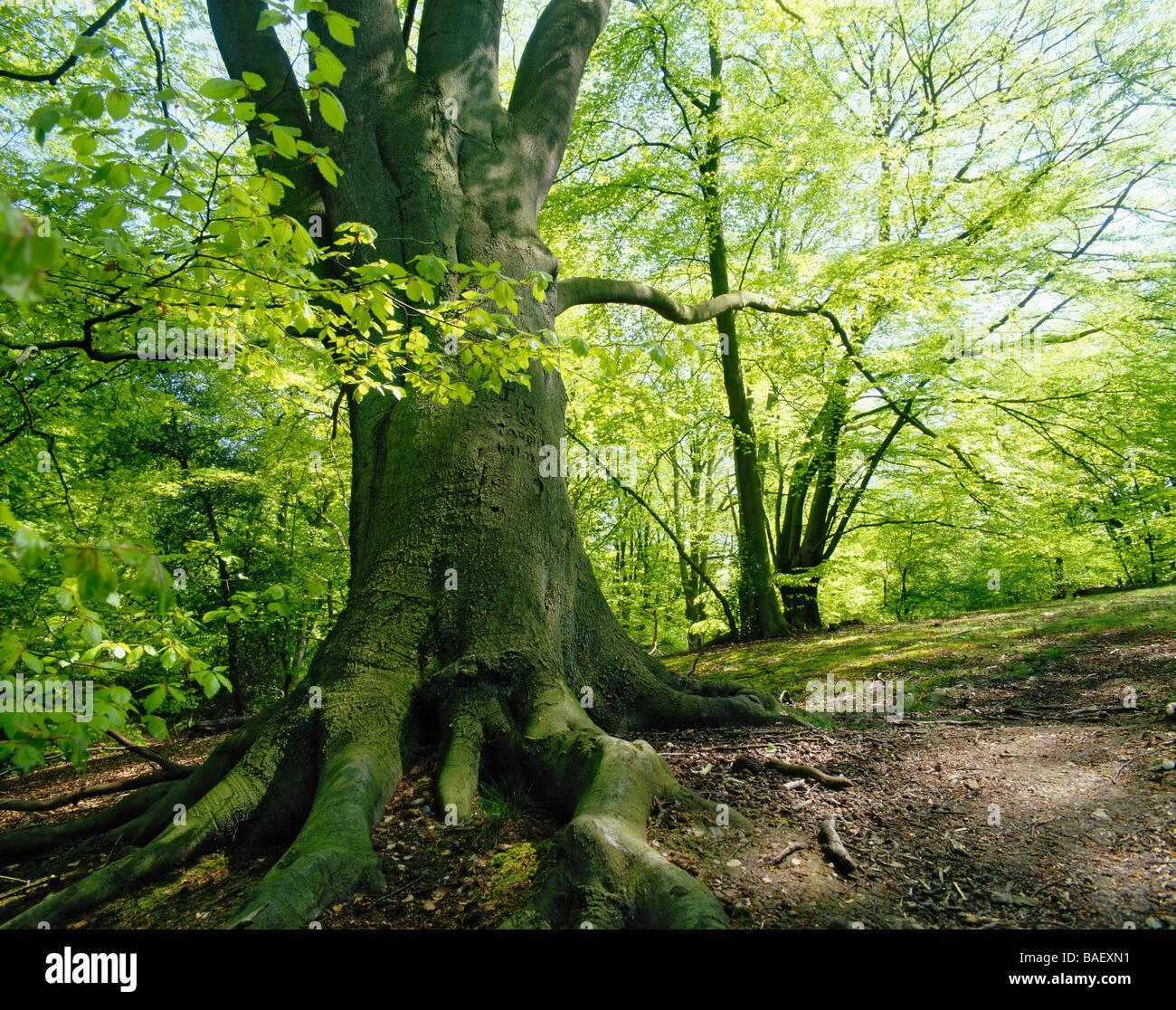 La forêt d'EPPING ESSEX GB grand moine BOIS Photo Stock