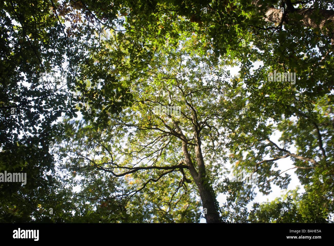 L'été du soleil filtre à travers les branches et le feuillage vert vieux de chênes se balançant Photo Stock
