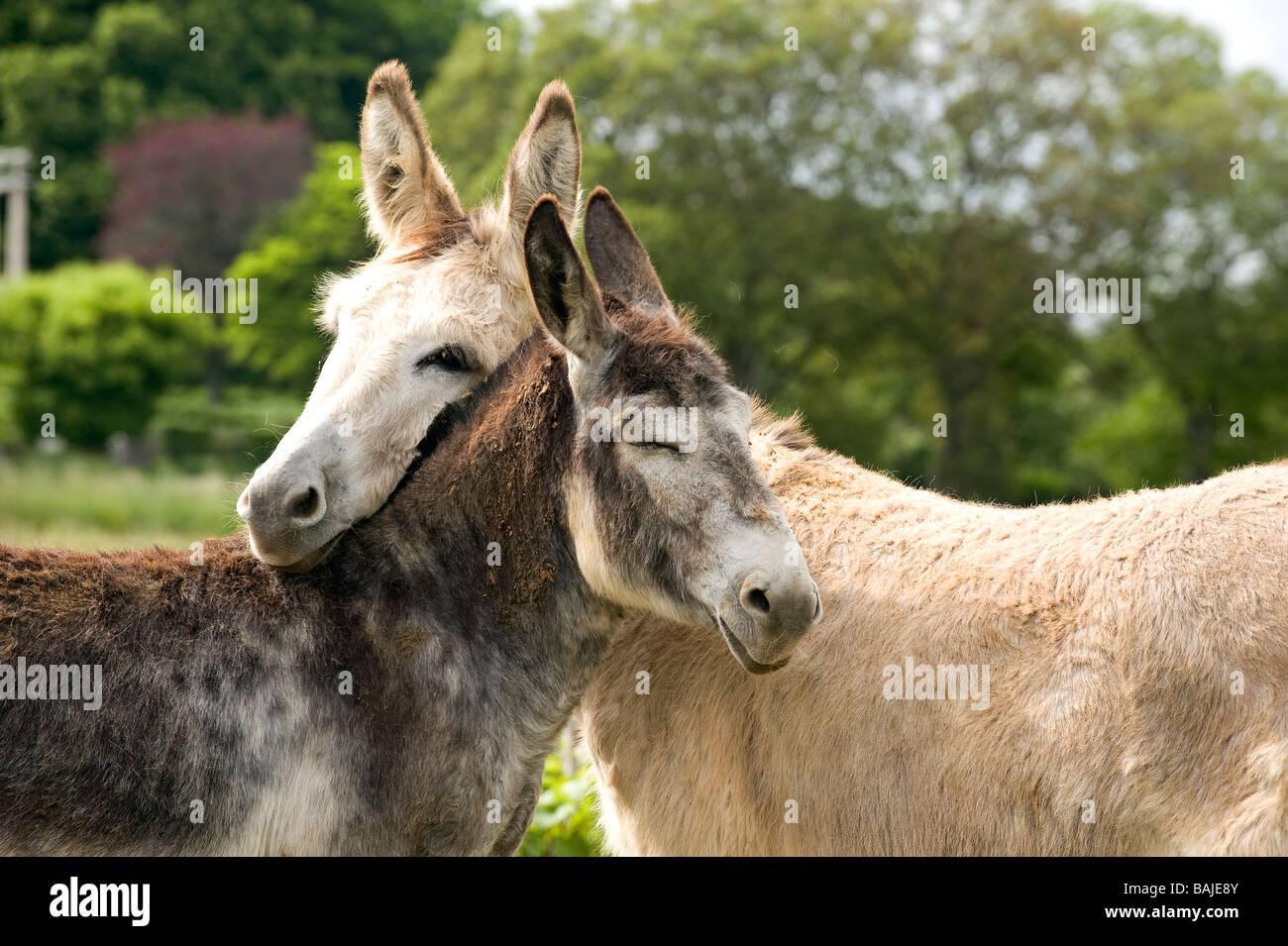 France, Côte d'Or, Villiers le Faye, la tendresse des ânes Photo Stock