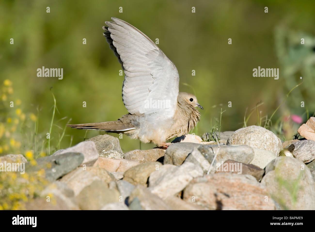 La Tourterelle triste soulève des ailes pour menacer un autre oiseau. Photo Stock