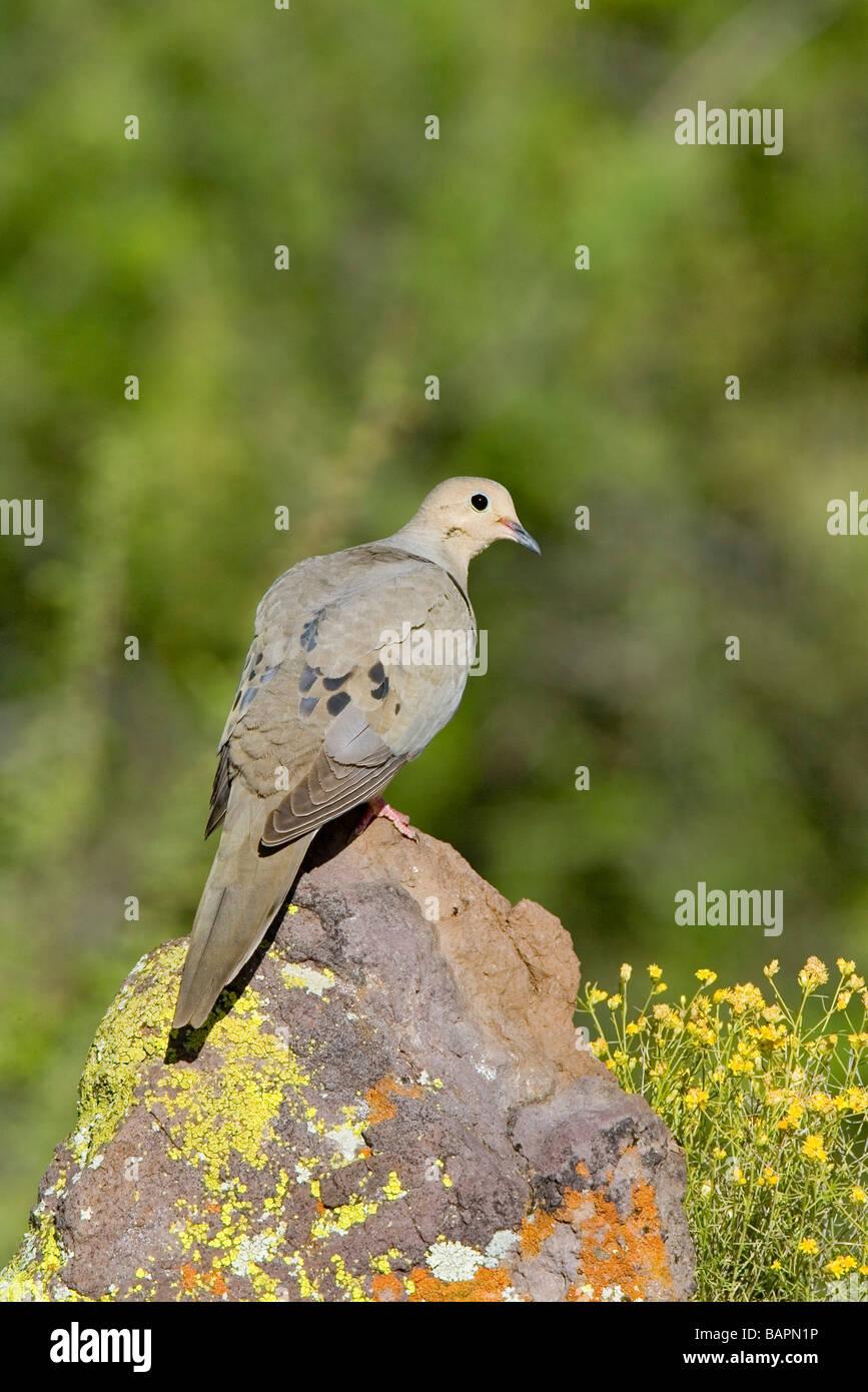 Sarcelles macoura Tucson ARIZONA United States 29 avril Colombidés Adultes Photo Stock