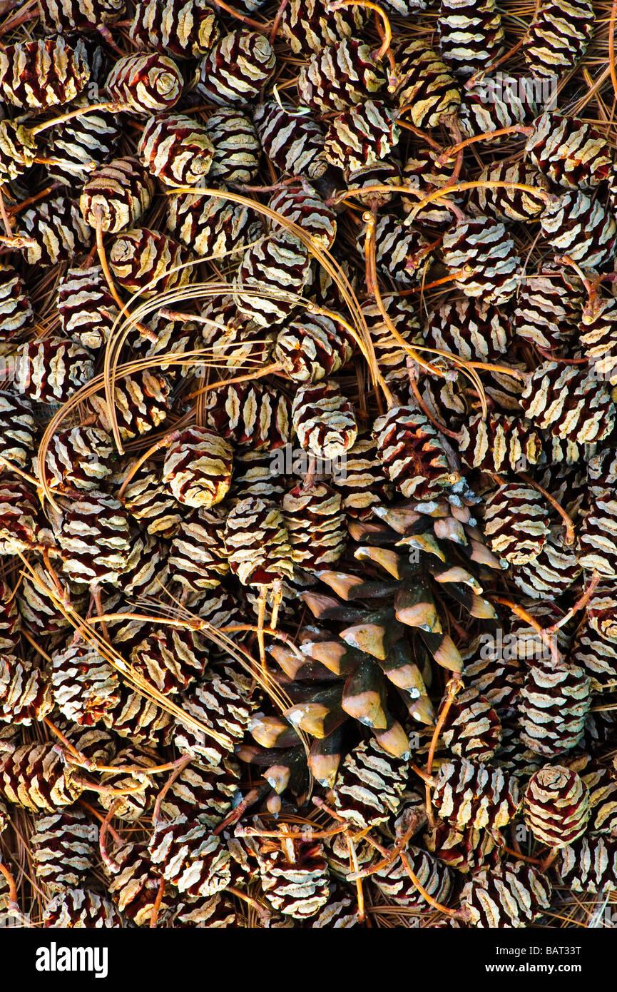 Dawn redwood femme pommes de pin (Metasequoia) avec un seul cône de pin blanc forment un motif graphique. Photo Stock