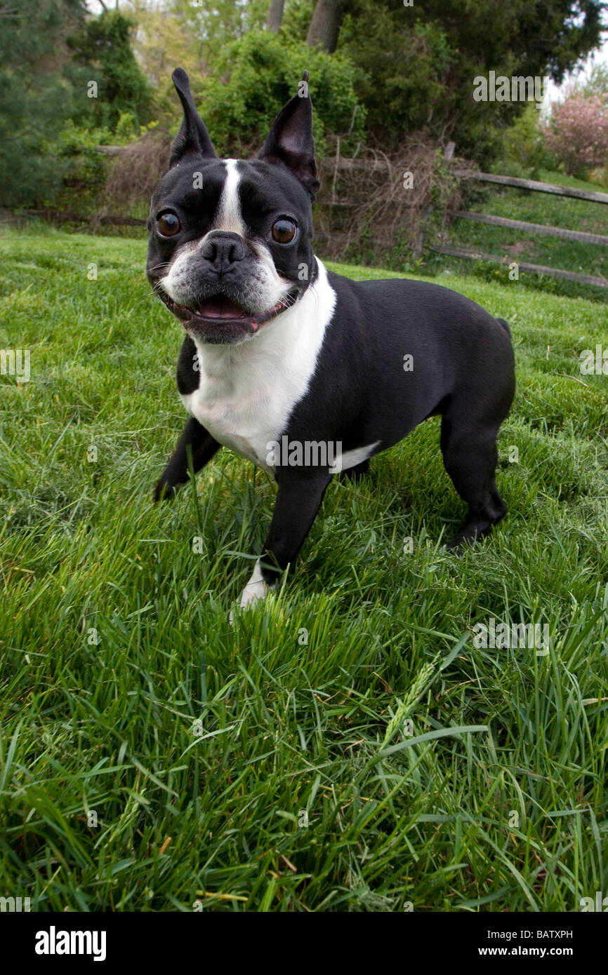 Boston Terrier ludique Photo Stock