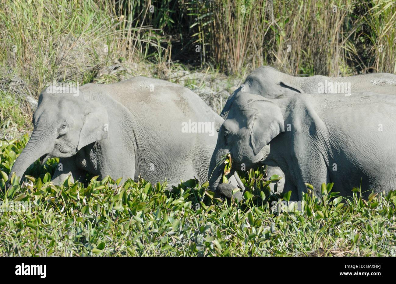 Trois femmes éléphants indiens sauvages (Elephas maximus indicus) manger des plantes de l'eau sur Photo Stock