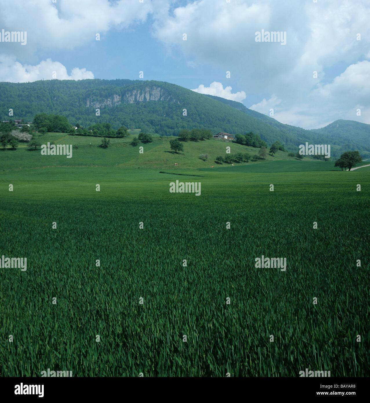 Récolte de blé en la feuille étendard dans les montagnes du Jura région de Suisse Banque D'Images