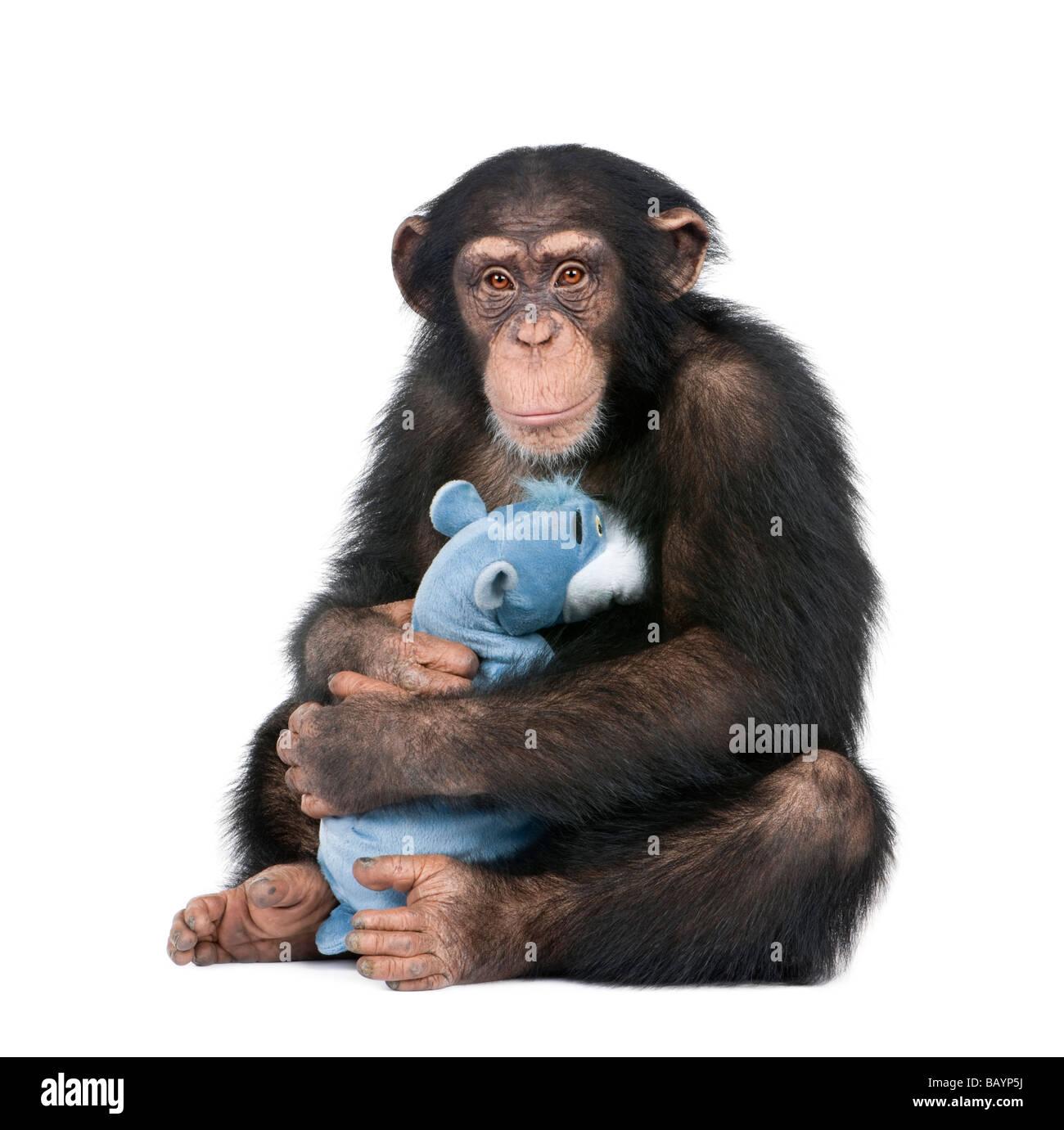 Jeune chimpanzé avec son ours en peluche Simia troglodytes 5 ans devant un fond blanc Photo Stock