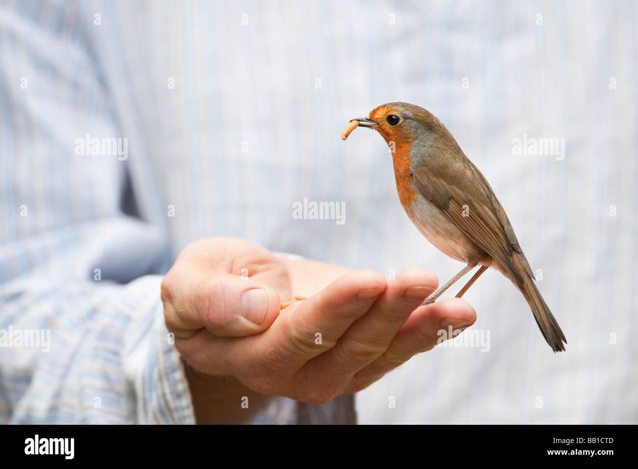Robin se nourrit de vers de farine à partir d'une main Le mans Photo Stock