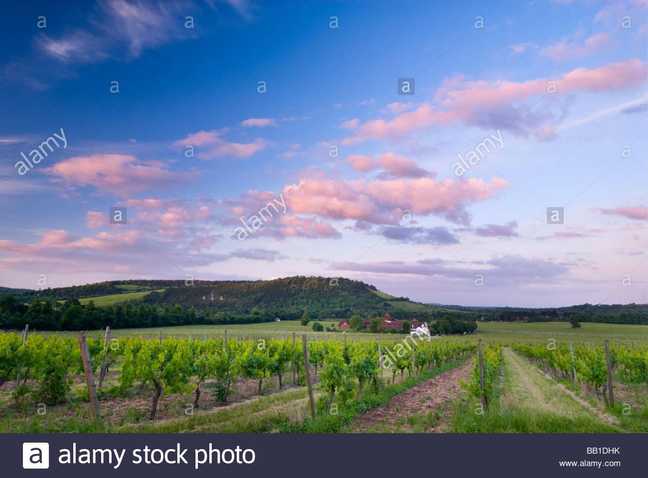Vignoble Denbies Wine Estate et, Dorking, Surrey, Angleterre. Photo Stock