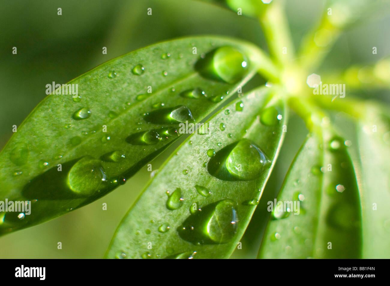 Gouttes d'eau sur une feuille de plante Schefflera. Photo Stock