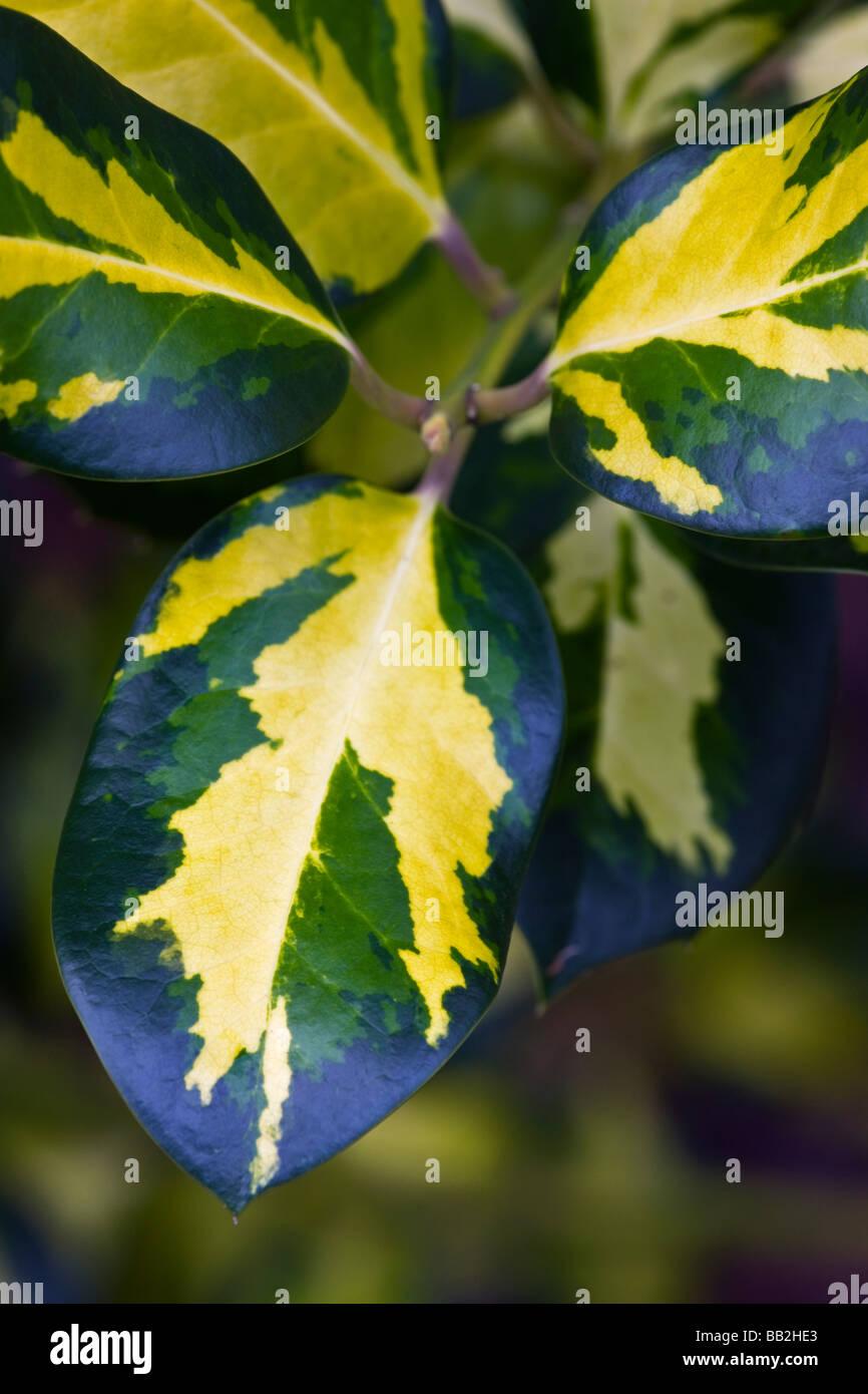 Ilex x altaclerensis 'Gold' holly panaché de Ripley Photo Stock