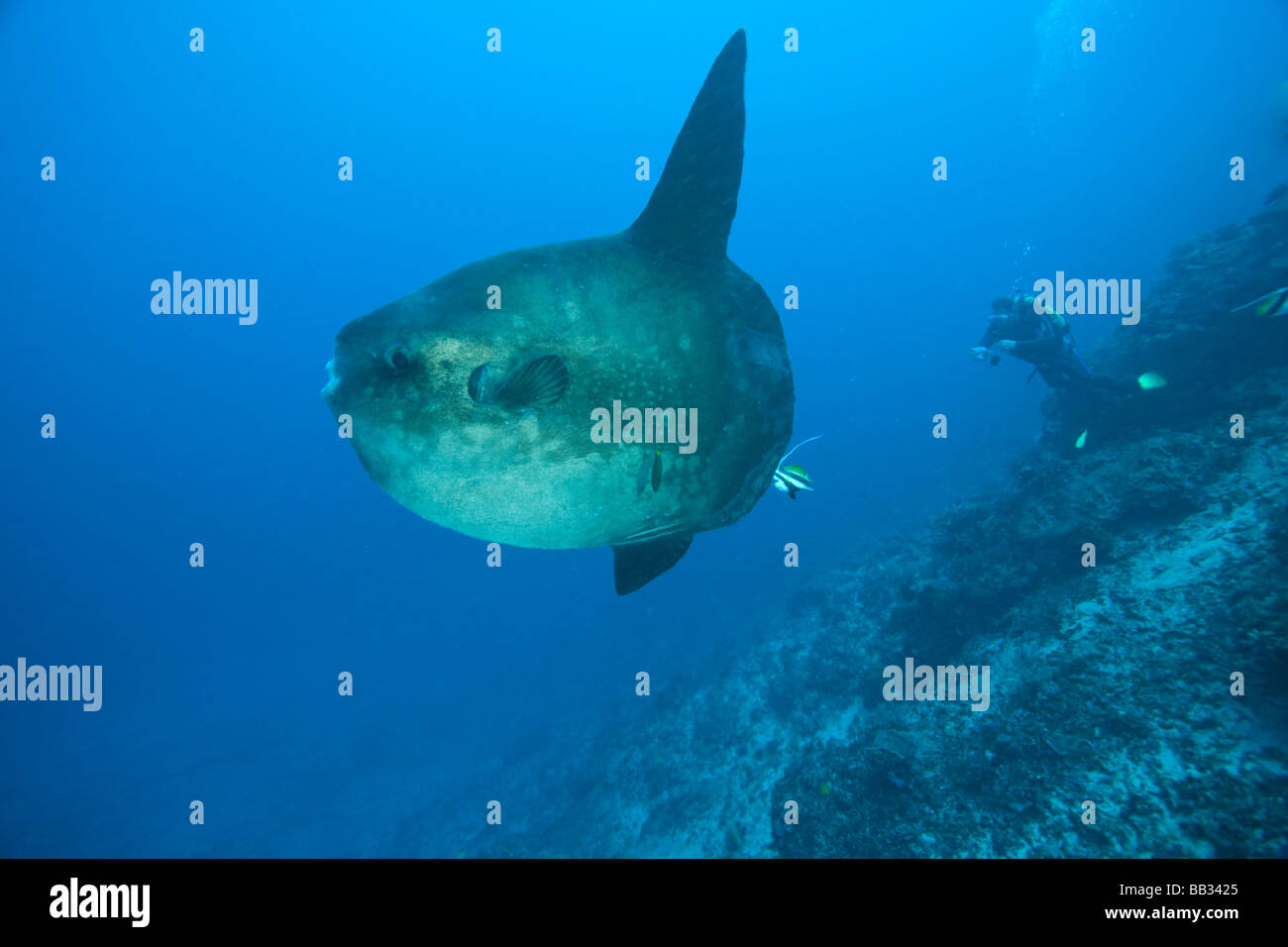 Mola Mola Photos Mola Mola Images Alamy