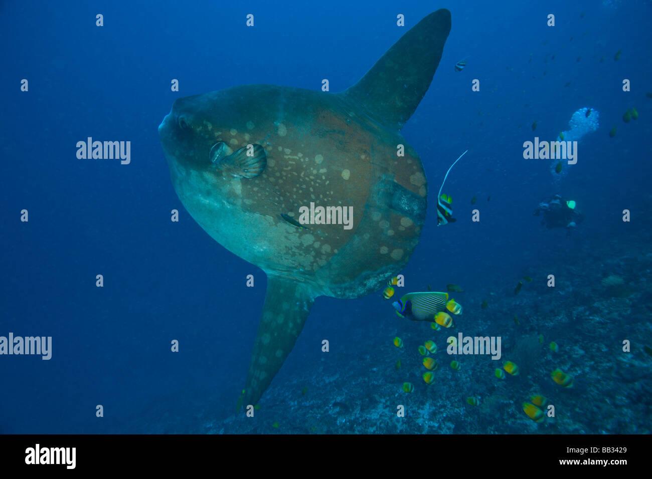 Mola Mola Fish Diver Photos Mola Mola Fish Diver Images Alamy