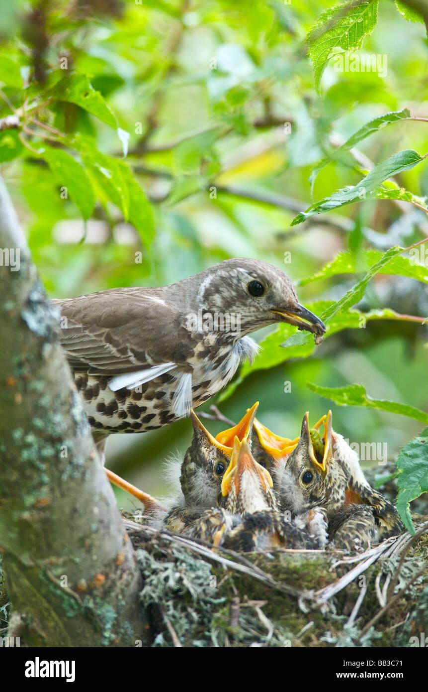 Une Grive Turdus ericetorum nourrir quatre jeunes poussins dans son nid dans un arbre de la cerise dans le Kent Photo Stock