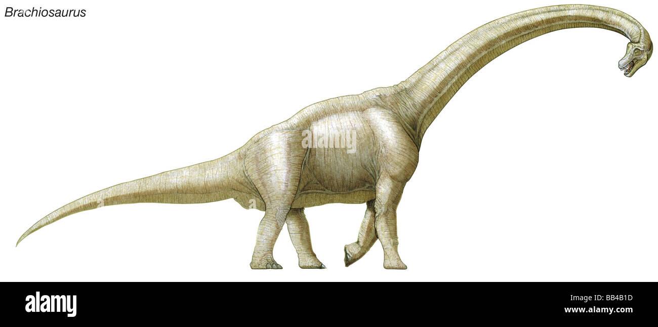 Brachiosaure, fin Jurassique à Crétacé inférieur dinosaure, un des plus grands, plus lourds Photo Stock