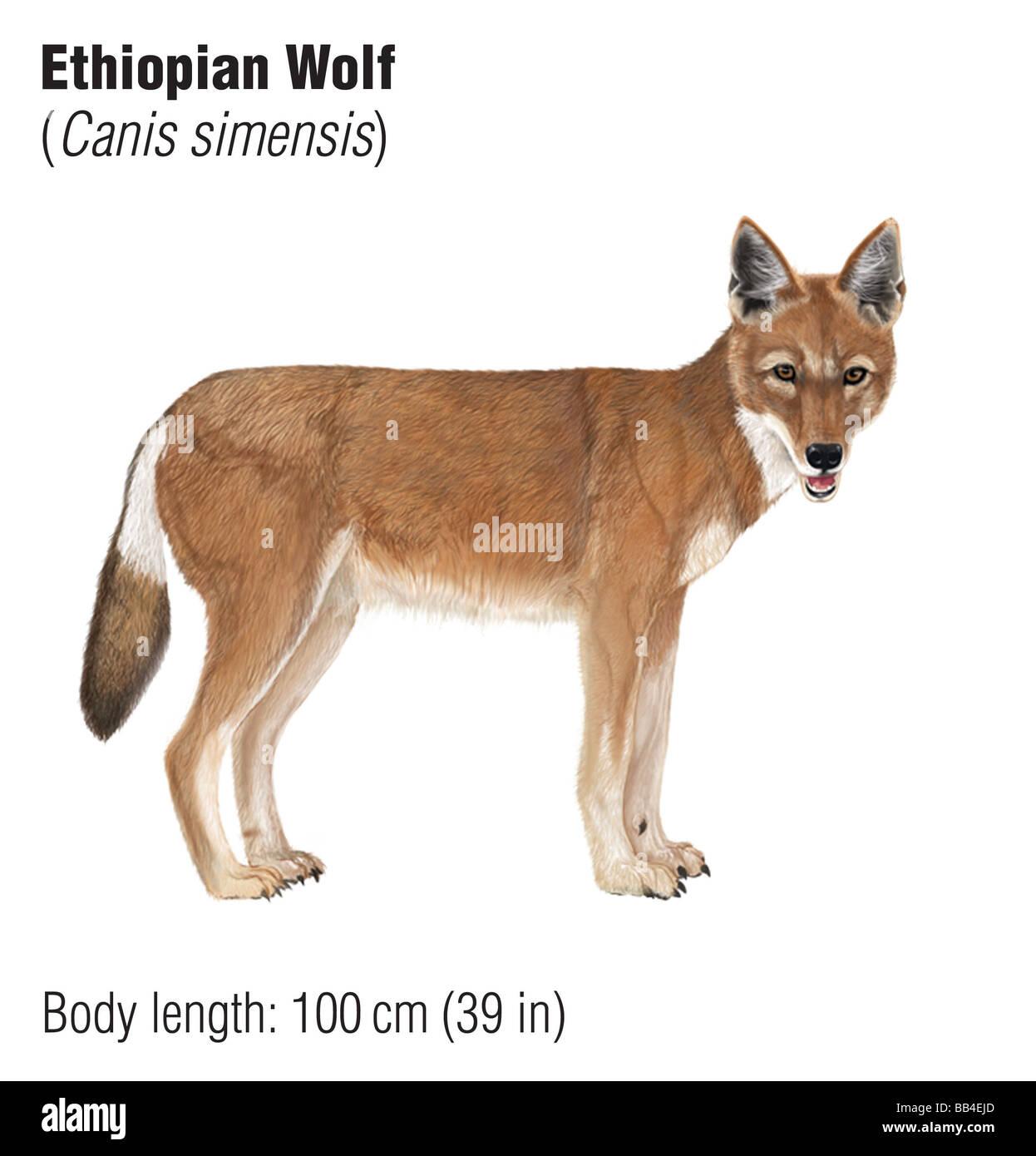 Loup éthiopien (Canis simensis), une espèce en voie de disparition Banque D'Images